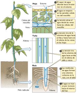 Figura 2. Esquema de circulació de l'aigua dins d'una planta. Font: http://b-log-ia20.blogspot.com.es/2010/12/ anatomia-y-fisiologia-vegetal-iii.html