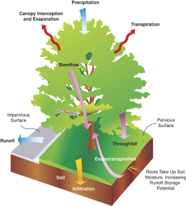Figura 3. Esquema del cicle hidrològic d'un arbre. Crèdit de la figura: Mike Thomas (Societat Internacional d'Arboricultura). Font: http://www.coolcalifornia.org/sites/ coolcalifornia/files/Fig%202_Stormwater_orig.jpg