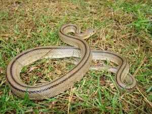 serp blanca