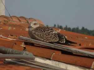 Figura 3 Gaviota (Larus michahellis) a la teulada d'un edifici Fotos pròpies