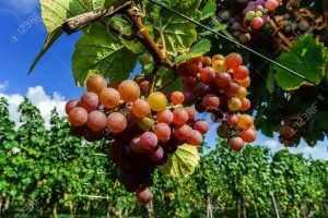 Gewurztraminer grape bunches on the sun, Alsace, vendange time, France