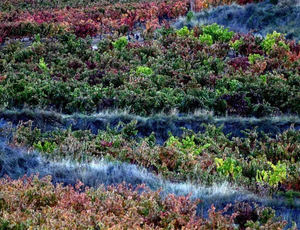 viñedo-terrazas .otoño. (1)