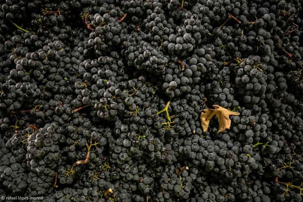 Verema i vinificació del vi Mas La Plana. Cellers Torres. DO Penedès. Pacs, Alt Penedès, Barcelona