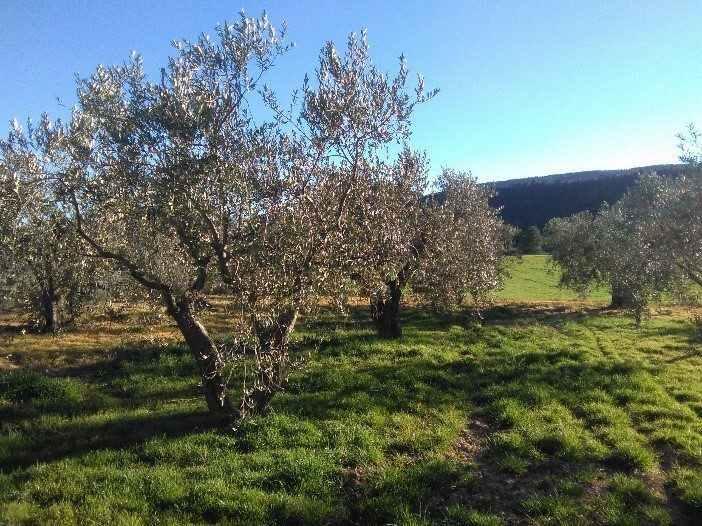 Oliveres en el cam+¡ a l'ermita de Sant Josep Montblanc