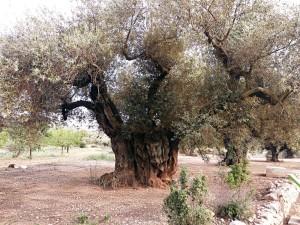 olivera 3