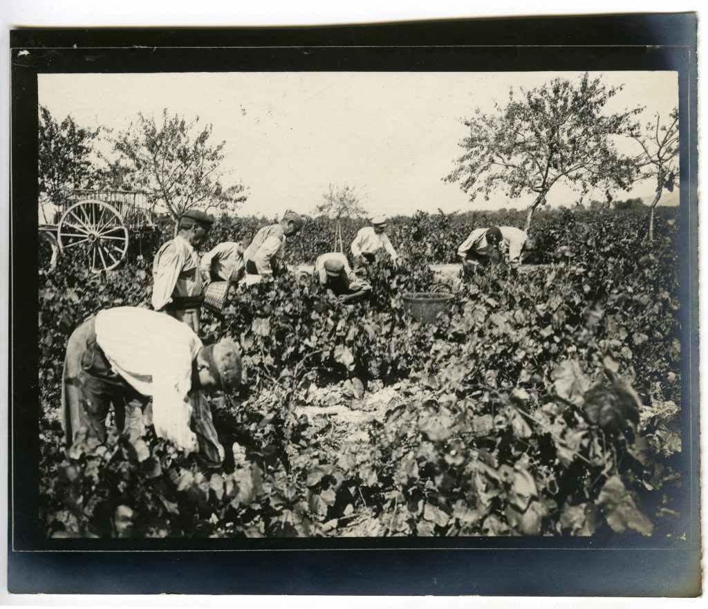 Verema del 1911 al pla de Barcelona. Enmig de les vinyes, diversos agricultors recullen el raïm. Font: Frederic Ballell/Arxiu Fotogràfic de Barcelona.